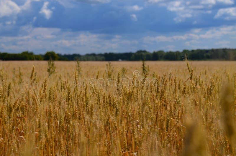 Oekraïens de zomerlandschap met tarwegebieden en blauwe hemel royalty-vrije stock afbeelding