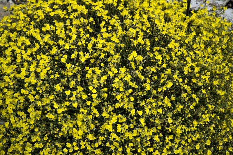 Oelandicum de Helianthemum ou Rocha-rosa grisalho fotografia de stock