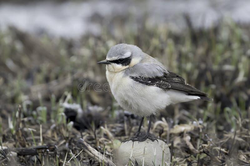 Oenanthe bird stock photo