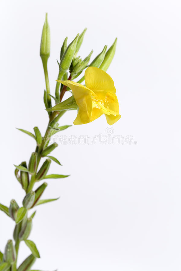 Oenothère biennale avec la fleur jaune photographie stock