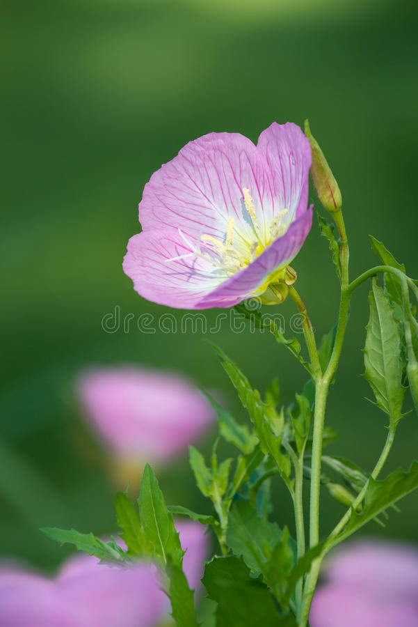 Oenothère biennale rose photographie stock