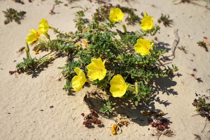Roman aqueduct beach, evening primrose flower. Israel royalty free stock images