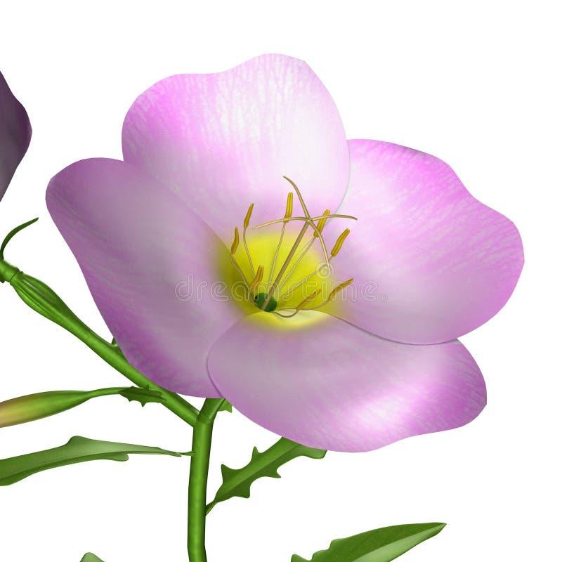 Oenothera flower royalty free illustration
