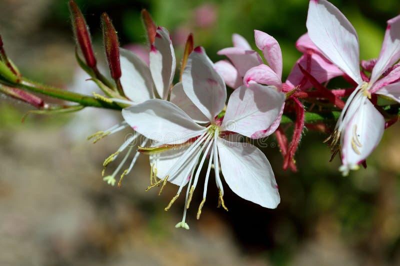 Oenothera lindheimeri funkelnde weiße Sorte lizenzfreie stockfotos