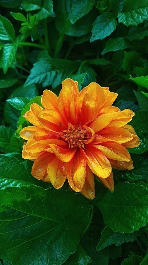 Oerhörd orange blomma fotografering för bildbyråer