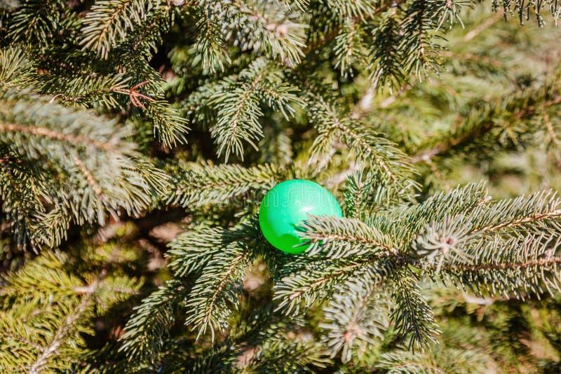 Oeuf coloré dans des branches de pin Chasse d'oeufs : activité traditionnelle de famille le jour de Pâques photo libre de droits