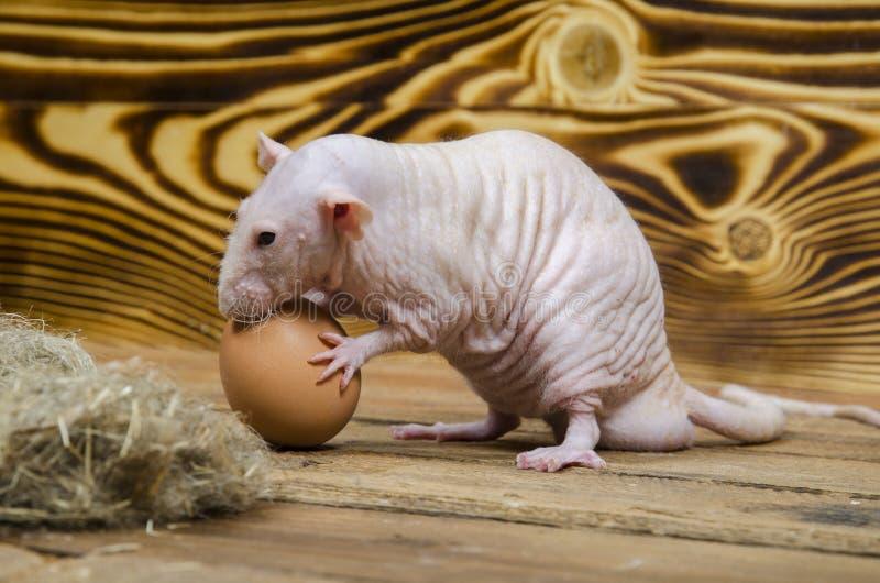 Oeuf décoratif de rat et de poulet images stock