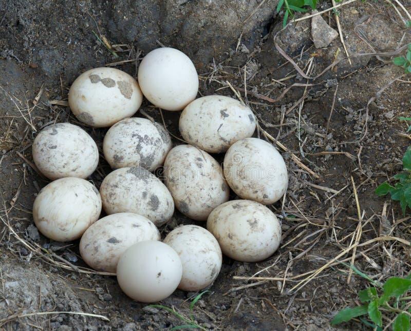 Oeuf modifié de canard photographie stock libre de droits
