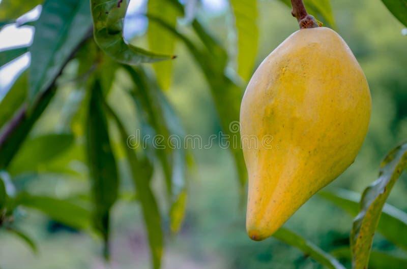 Oeuf Tiesa de jaune de Lucuma photographie stock