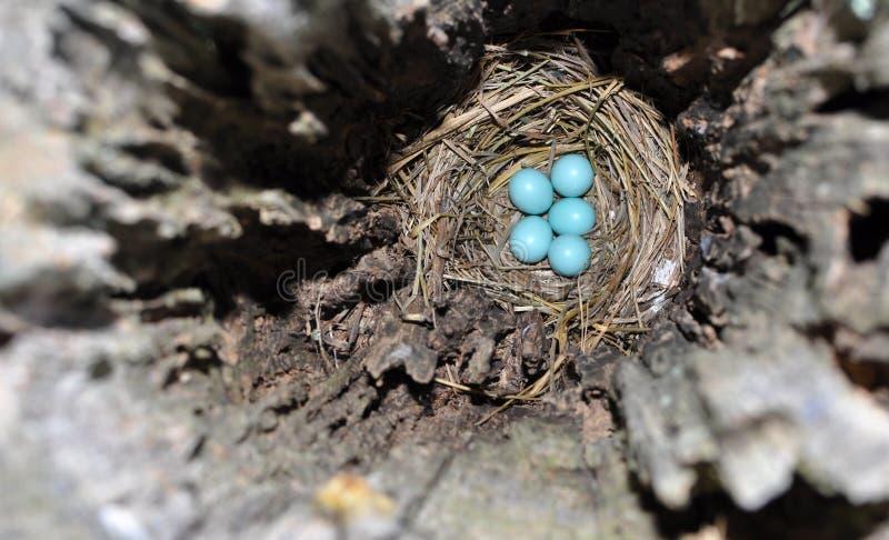 Oeufs bleus dans un nid caché d'un oiseau bleu oriental images libres de droits