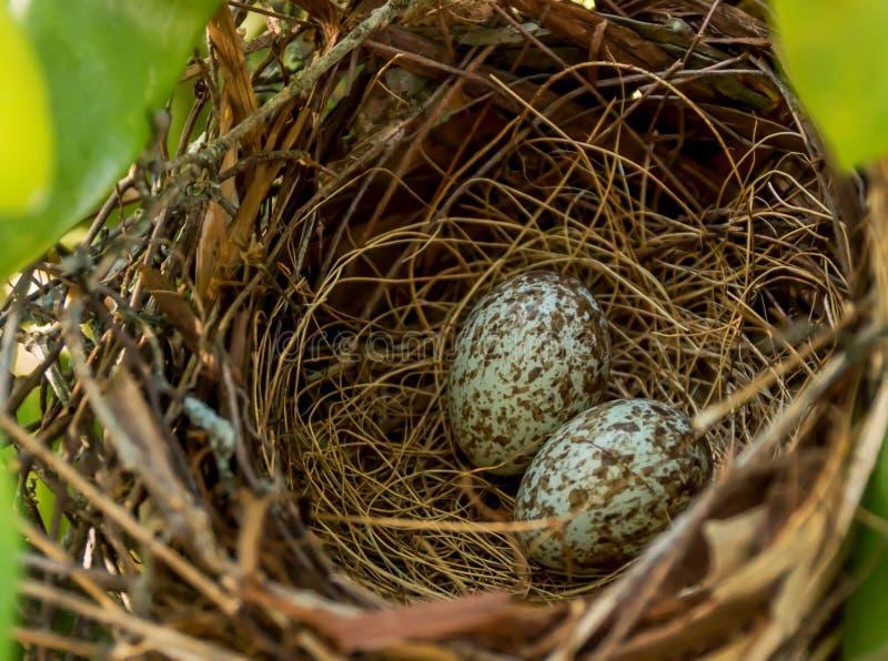 Oeufs cardinaux dans un nid image libre de droits