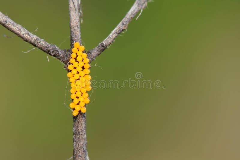 Oeufs d'insecte photographie stock libre de droits