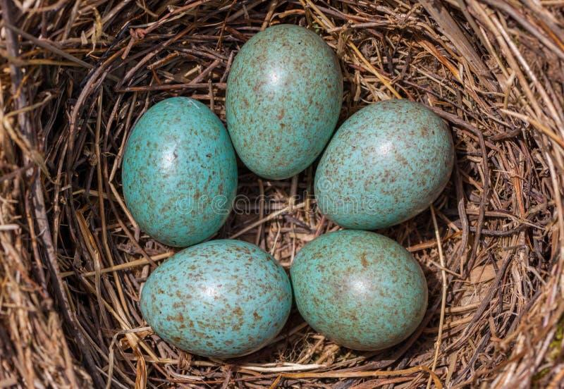 Oeufs dans le nid image libre de droits