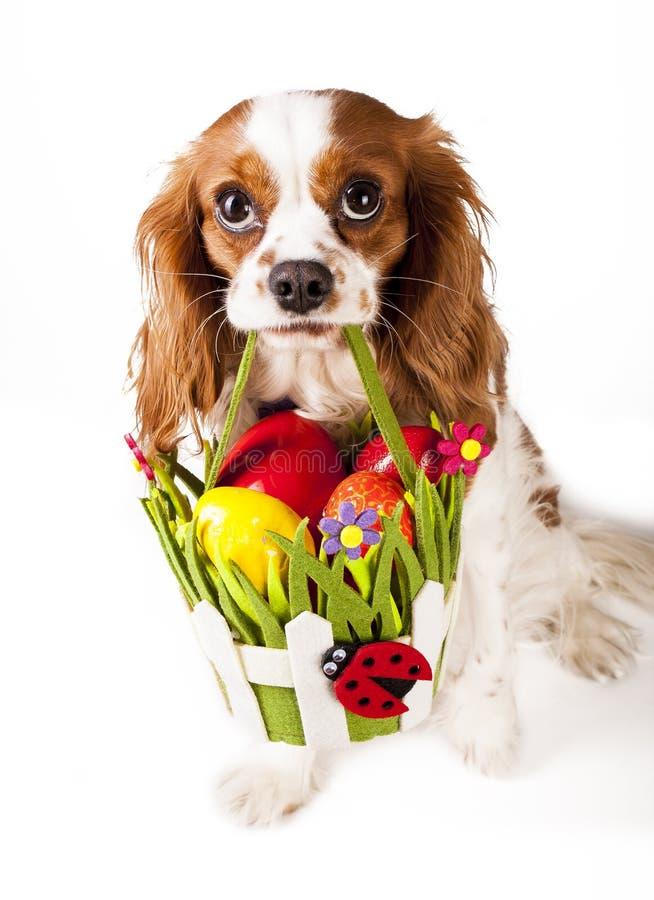 Oeufs de pâques dans le panier avec le chien de Pâques Joyeuses Pâques Épagneul de roi Charles cavalier tenant le panier d'oeuf d photos libres de droits
