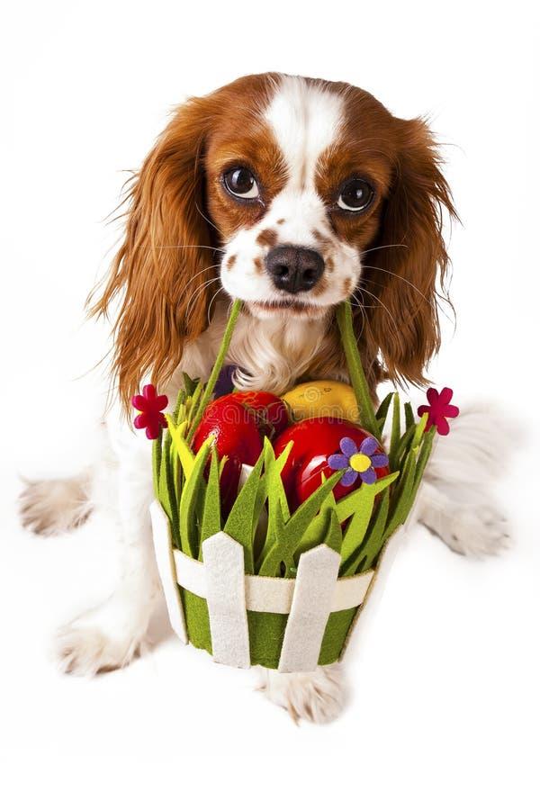 Oeufs de pâques dans le panier avec le chien de Pâques Joyeuses Pâques Épagneul de roi Charles cavalier tenant le panier d'oeuf d photo libre de droits