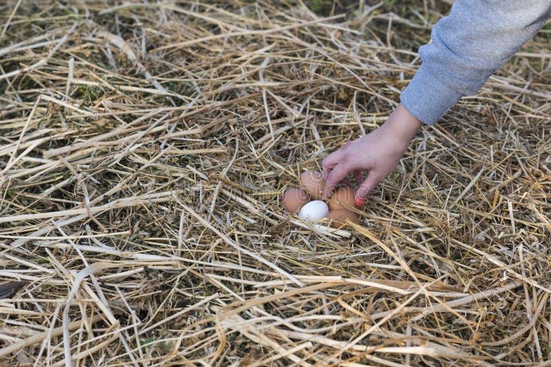 Oeufs de poulet dans les mains images libres de droits