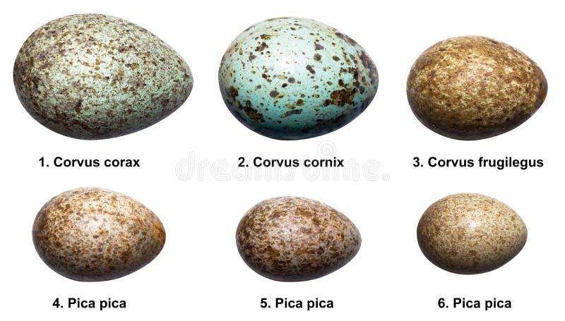 Oeufs des oiseaux de la famille de corneille (corvids). photos stock