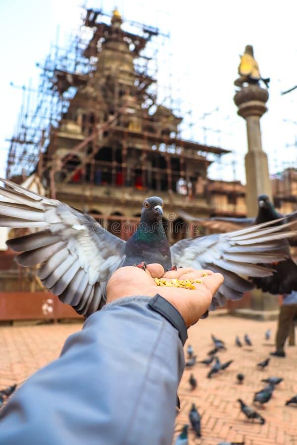 Oförskräckt och hungrig duva av den Patan Durbar fyrkanten royaltyfria bilder