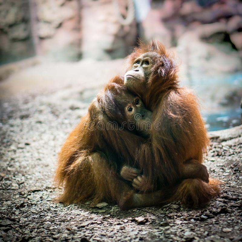Ofert małpy one modlą się w uścisku Małpy w miłości obrazy royalty free