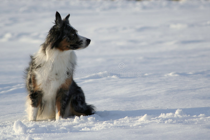 Off into the Distance. Australian Shepherd looking off into the distance, space for text! Snowscape stock photo