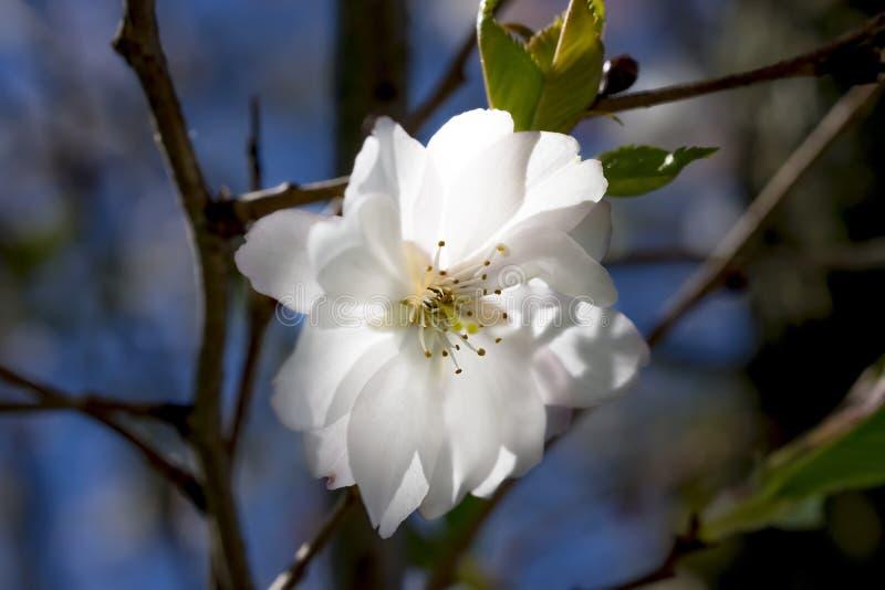 Offene Blume des Reinweißes hintergrundbeleuchtet durch einen Strahl des Lichtes durch das tre stockbilder