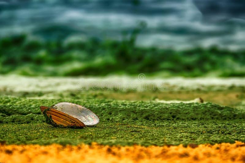 Offene Oberteilmiesmuschelauster ist auf einem sandigen Ufer, das mit Grün bedeckt wird stockfotografie