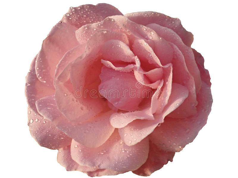 Offene rosafarbene Knospe stockbild