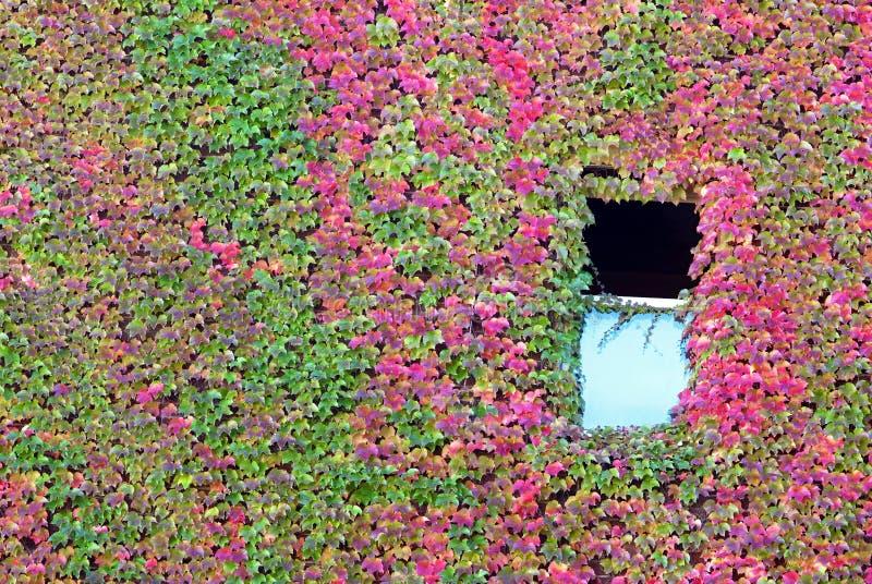 Offenes Fenster In Der Efeu-Wand Stockbild