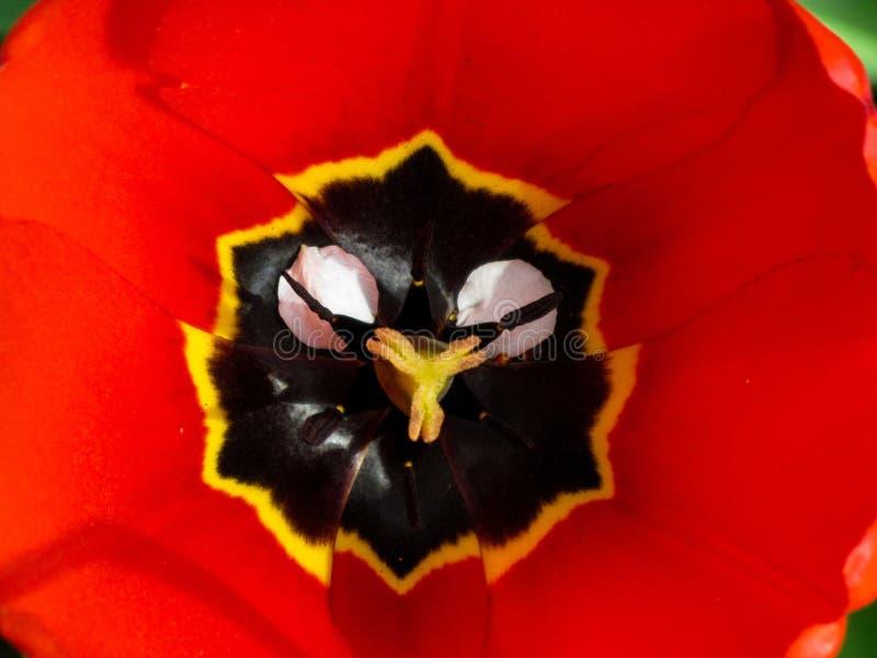 Offenes Tulpenk?pfchen mit Stempeln und den Staubgef?ssen Draufsichtmakrobild lizenzfreie stockbilder