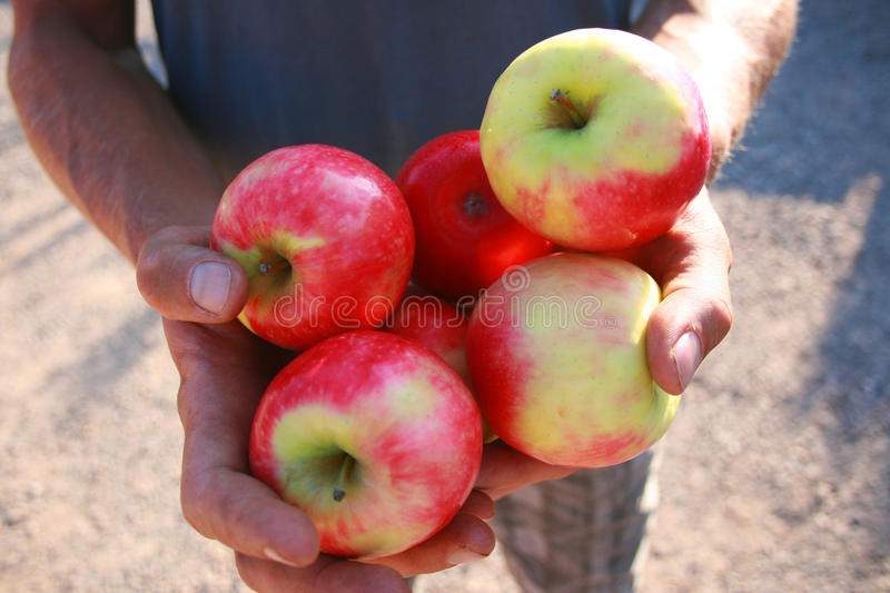 Offering Of Fresh Apples Royalty Free Stock Photos