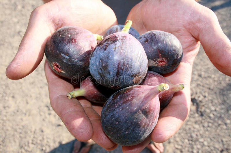 Download Offering Of Fresh Figs Royalty Free Stock Images - Image: 10494569