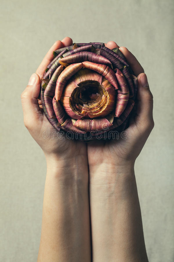 Offering nature. Two hands and an artichoke rose stock photography