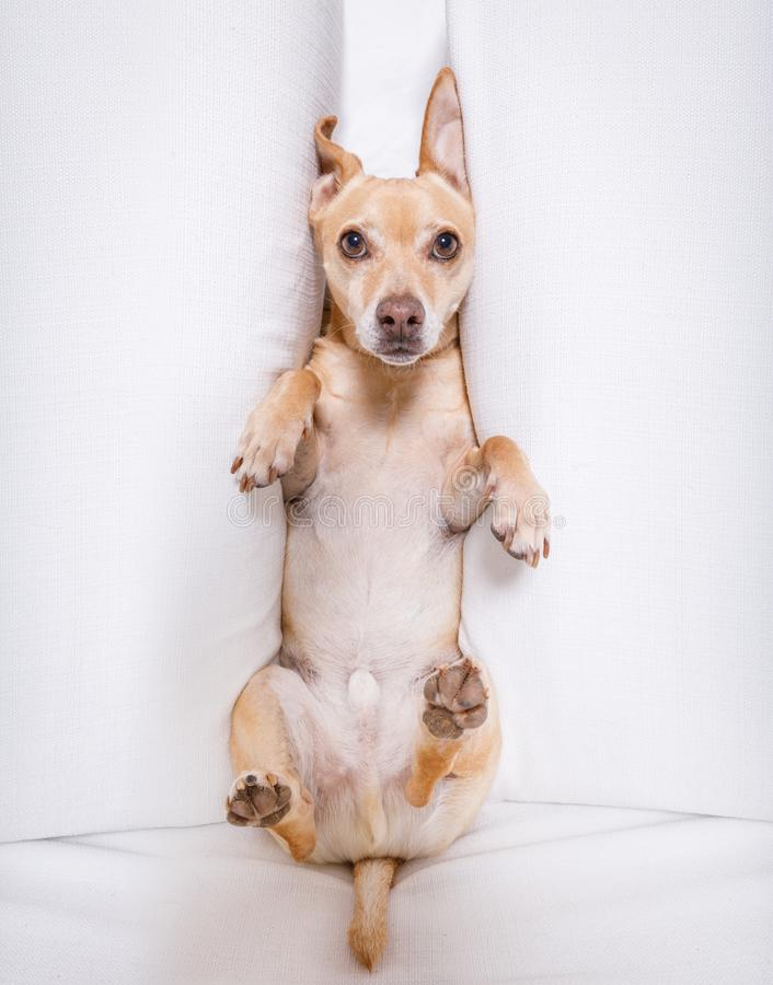 Burnout dog under pressure. Office businessman dog , busy and burnout , feeling the pressure at work stock images