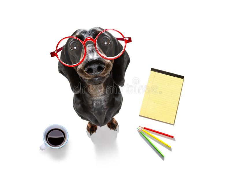 Office worker businessman sausage dachshund dog royalty free stock photos