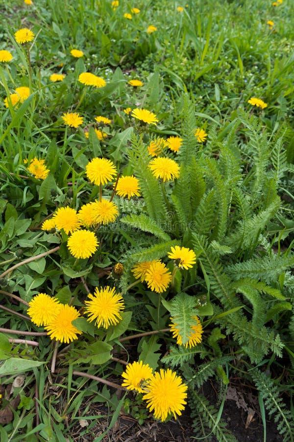 Officinale de florescência do Taraxacum e folhas verdes do millefolium de Achillea imagens de stock