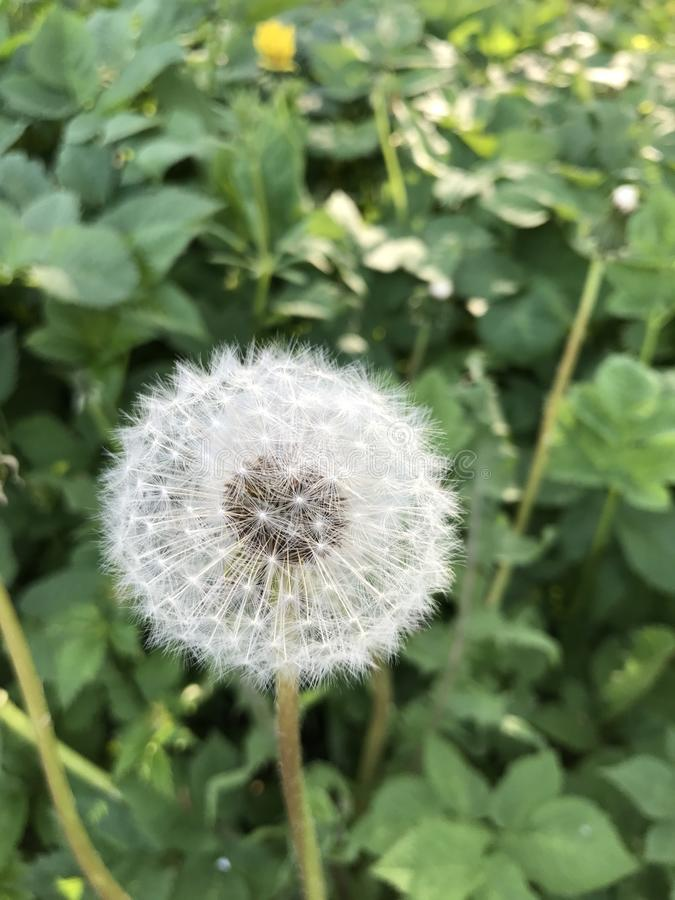 Officinale de pissenlit ou de Taraxacum photo stock