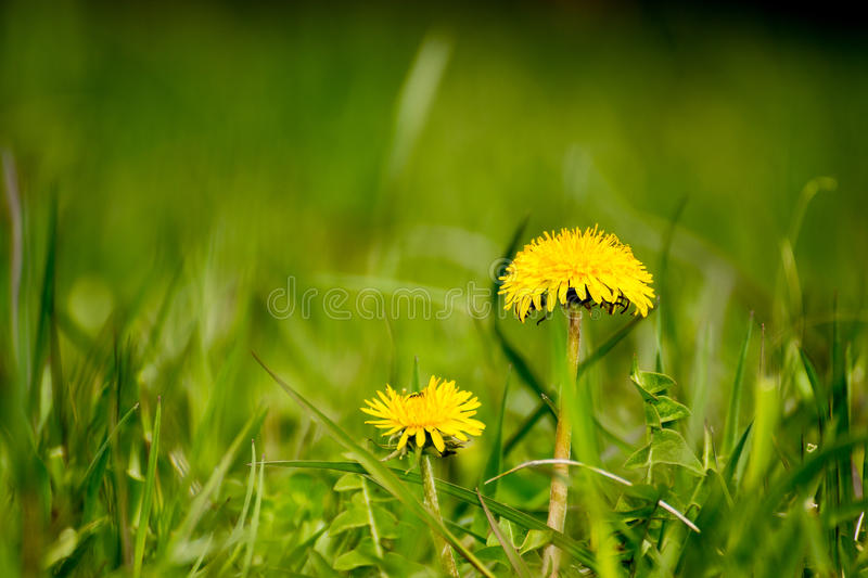 Officinale do Taraxacum fotografia de stock royalty free