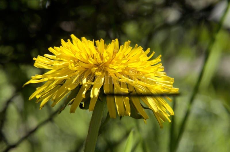 Officinale do Taraxacum; flor do dente-de-leão no gramado suíço fotografia de stock royalty free