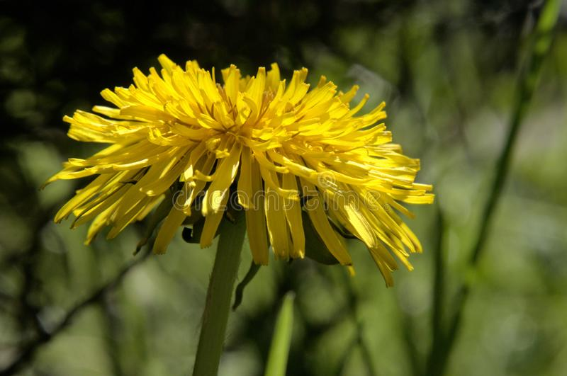 Officinale do Taraxacum; flor do dente-de-leão no gramado suíço fotografia de stock