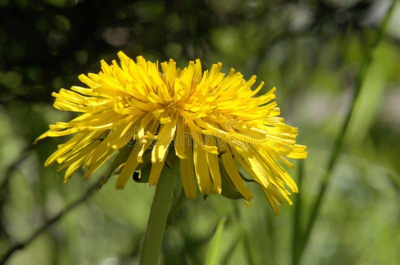 Officinale do Taraxacum; flor do dente-de-leão no gramado suíço imagem de stock