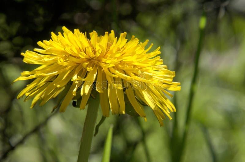 Officinale do Taraxacum; flor do dente-de-leão no gramado suíço foto de stock royalty free