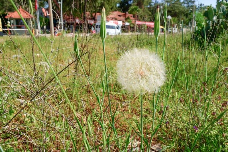 Officinale ou dente-de-leão do Taraxacum no prado do verão imagem de stock royalty free