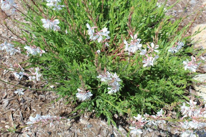 Officinalis Розмари Rosmarinus стоковое изображение rf