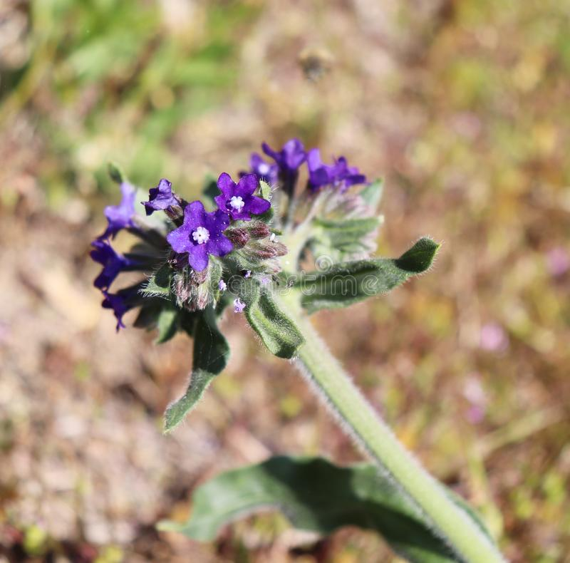 Officinalis Anchusa, обыкновенно известные как общие bugloss или alkanet Лекарственное растение от семьи borage стоковые фотографии rf