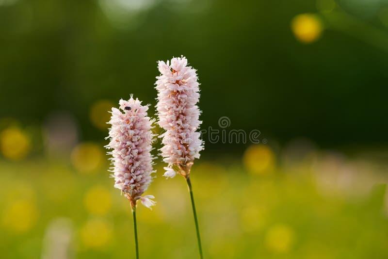 Officinalis Bistorta Другие общие имена - snakeroot, змейк-корень, snakeweed стоковое изображение rf
