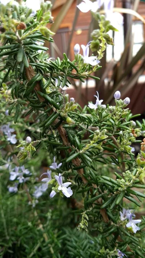Officinalis brancos do Rosmarinus dos alecrins imagens de stock