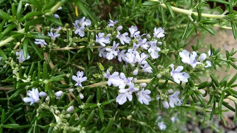 Officinalis brancos do Rosmarinus dos alecrins fotografia de stock