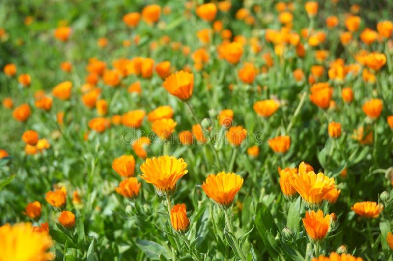 Officinalis Calendula ή Marigold δοχείων, κοινό Marigold, σκωτσέζικο Marigold, Ruddles, Marigold δοχείων στοκ εικόνες με δικαίωμα ελεύθερης χρήσης
