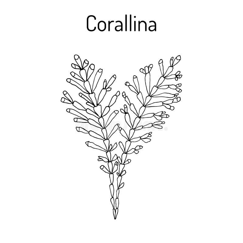 Officinalis Corallina, φύκι, ιατρικές εγκαταστάσεις διανυσματική απεικόνιση