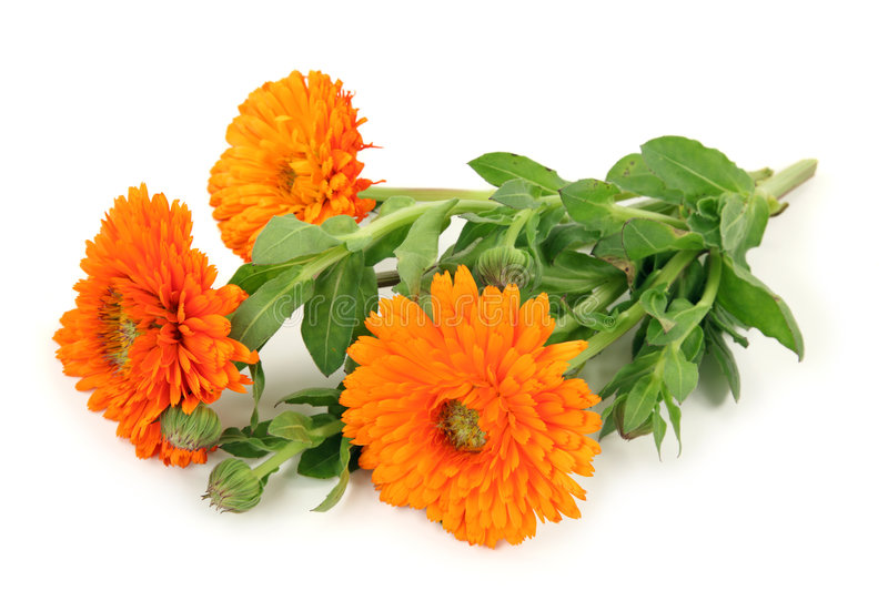 officinalis de calendula photos stock